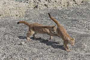 Mountain Lion (Puma concolor) young cubs playing, Torres del Paine National Park, Patagonia, Chile - Ingo Arndt