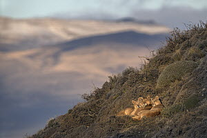 Mountain Lion (Puma concolor) mother and cubs, Torres del Paine National Park, Patagonia, Chile - Ingo Arndt