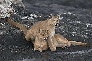 Mountain Lion (Puma concolor) mother and cub, Torres del Paine National Park, Patagonia, Chile - Ingo Arndt