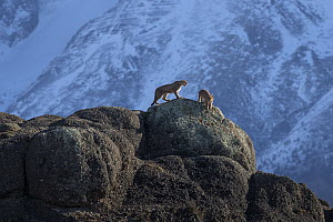 Mountain Lion (Puma concolor) male and female, Torres del Paine National Park, Patagonia, Chile - Ingo Arndt