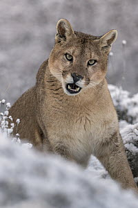 Mountain Lion (Puma concolor) female in snow, Torres del Paine National Park, Patagonia, Chile  -  Ingo Arndt