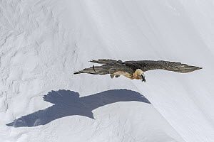 Bearded Vulture (Gypaetus barbatus) flying low over snow in winter, Valais, Switzerland  -  Ingo Arndt