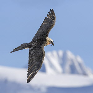 Bearded Vulture (Gypaetus barbatus) flying in winter, Valais, Switzerland  -  Ingo Arndt
