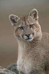 Mountain Lion (Puma concolor), Torres del Paine National Park, Patagonia, Chile  -  Ingo Arndt