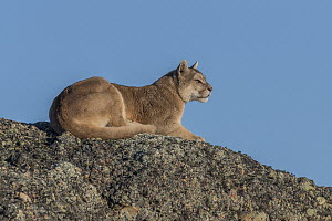 Mountain Lion (Puma concolor) female, Torres del Paine National Park, Patagonia, Chile  -  Ingo Arndt