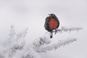 Long-tailed Meadowlark (Leistes loyca) in winter, Torres del Paine National Park, Patagonia, Chile  -  Ingo Arndt