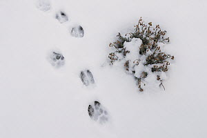 Mountain Lion (Puma concolor) stepping into Guanaco (Lama guanicoe) tracks in snow during stalk, Torres del Paine National Park, Patagonia, Chile  -  Ingo Arndt