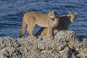 Mountain Lion (Puma concolor) sub-adult sisters, Torres del Paine National Park, Patagonia, Chile - Ingo Arndt
