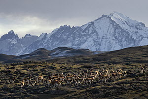 Guanaco (Lama guanicoe) herd and mountains, Paine Massif, Torres del Paine, Torres del Paine National Park, Patagonia, Chile  -  Ingo Arndt