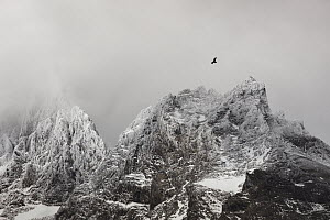 Andean Condor (Vultur gryphus) flying near mountains, Cordillera Paine, Torres del Paine National Park, Patagonia, Chile  -  Ingo Arndt