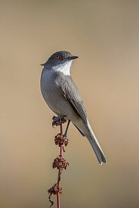 Fire-eyed Diucon (Xolmis pyrope), Torres del Paine National Park, Patagonia, Chile  -  Ingo Arndt