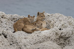 Mountain Lion (Puma concolor) mother and young cubs, Torres del Paine National Park, Patagonia, Chile  -  Ingo Arndt