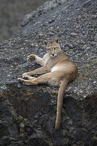 Mountain Lion (Puma concolor) sub-adult male, Torres del Paine National Park, Patagonia, Chile  -  Ingo Arndt