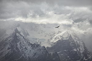 Andean Condor (Vultur gryphus) flying near mountains, Paine Massif, Torres del Paine, Torres del Paine National Park, Patagonia, Chile  -  Ingo Arndt