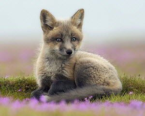Red Fox (Vulpes vulpes) kit, Washington  -  Chase Dekker