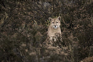 Mountain Lion (Puma concolor) sub-adult, Torres del Paine National Park, Patagonia, Chile - Sean Crane