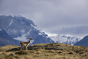 Guanaco (Lama guanicoe) and mountains, Torres del Paine National Park, Patagonia, Chile - Sean Crane