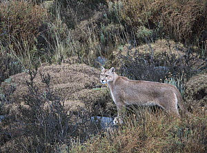 Mountain Lion (Puma concolor), Torres del Paine National Park, Patagonia, Chile - Sean Crane