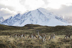 Guanaco (Lama guanicoe) herd and mountains, Torres del Paine National Park, Patagonia, Chile - Sean Crane