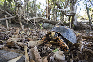 Red-footed Tortoise (Geochelone carbonaria), Saint Barts, Caribbean - Sean Crane