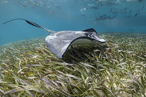 Southern Stingray (Dasyatis americana), Shark Ray Alley, Ambergris Caye, Belize - Sean Crane