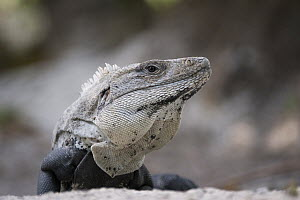 Black Spiny-tailed Iguana (Ctenosaura similis), Ambergris Caye, Belize - Sean Crane