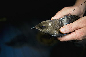 Marbled Murrelet (Brachyramphus marmoratus) biologist holding murrelet with radio transmitter at night, Newport, Oregon  -  Jaymi Heimbuch