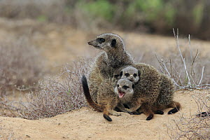 Meerkat (Suricata suricatta) parent and young, Oudtshoorn, Western Cape, South Africa - Juergen & Christine Sohns