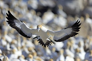 Cape Gannet (Morus capensis) landing in colony, Lambert's Bay, Western Cape, South Africa - Juergen & Christine Sohns