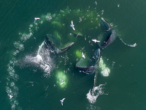 Humpback Whale (Megaptera novaeangliae) pod cooperative bubble-net feeding, Frederick Sound, Alaska - Paul Souders/ Worldfoto