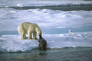 Polar Bear (Ursus maritimus) dragging seal prey onto ice with gull standing nearby waiting for left-overs, Spitsbergen, Svalbard, Norway  -  Patricio Robles Gil