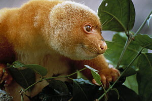 Short-tailed Spotted Cuscus (Spilocuscus maculatus) portrait in tree, Papua New Guinea - Patricio Robles Gil
