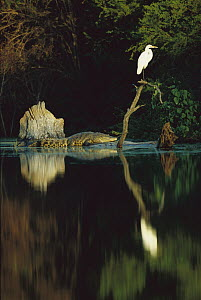 Morelet's Crocodile (Crocodylus moreletii) endangered, resting at the base of a snag with Egret perched atop along the Corona River, Tamaulipas, Mexico  -  Patricio Robles Gil