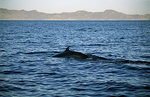 Bryde's Whale (Balaenoptera edeni) surfacing in the Gulf of California, Mexico - Patricio Robles Gil