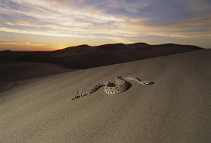 Sidewinder (Crotalus cerastes) rattlesnake moving across sand dunes at sunset, El Pinacate/Gran Desierto de Altar Biosphere Reserve, Sonora, Mexico  -  Patricio Robles Gil