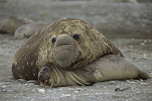 Southern Elephant Seal (Mirounga leonina) male crushing female during mating attempt, South Georgia Island  -  Patricio Robles Gil