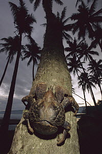 Coconut Crab (Birgus latro) the world's largest land invertebrate climbing a palm tree, Efate Island, Vanuatu - Patricio Robles Gil