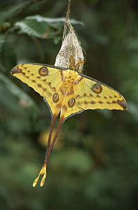 Madagascar Moon Moth (Argema mittrei) newly emerged male hangs onto cocoon, allowing wings to dry, Madagascar  -  Patricio Robles Gil