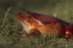 Tomato Frog (Dyscophus antongilii) very rare in nature, is found only in the town of Maroantsetra, Madagascar  -  Patricio Robles Gil