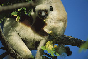 Coquerel's Sifaka (Propithecus coquereli) diurnal, common in mixed deciduous and evergreen forest, northwestern Madagascar  -  Patricio Robles Gil