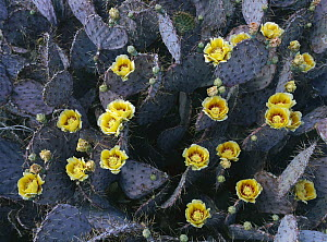 Opuntia (Opuntia sp) cactus in bloom, Chihuahuan Desert, Mexico - Patricio Robles Gil