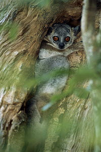 White-footed Sportive Lemur (Lepilemur leucopus) in tree crevice, Madagascar - Patricio Robles Gil