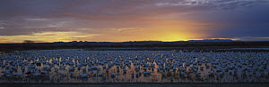 Snow Goose (Chen caerulescens) flock silhouetted in water at sunset, Bosque del Apache National Wildlife Refuge, New Mexico  -  Patricio Robles Gil