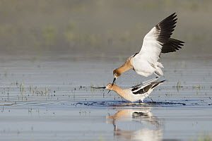 American Avocet (Recurvirostra americana) pair courting, Montana - Donald M. Jones