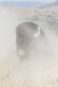 American Bison (Bison bison) dust bathing, National Bison Range, Montana  -  Donald M. Jones