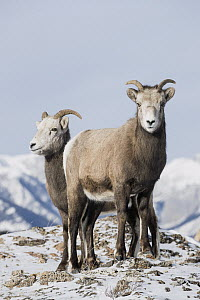 Bighorn Sheep (Ovis canadensis) females in winter, Jasper National Park, Alberta, Canada - Donald M. Jones