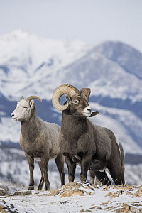 Bighorn Sheep (Ovis canadensis) female and male in winter, Jasper National Park, Alberta, Canada - Donald M. Jones