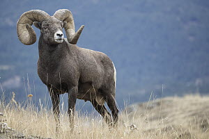 Bighorn Sheep (Ovis canadensis) ram, Montana - Donald M. Jones