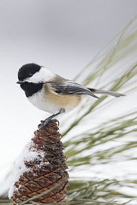Black-capped Chickadee (Poecile atricapillus) in winter, Troy, Montana  -  Donald M. Jones