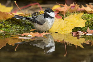 Black-capped Chickadee (Poecile atricapillus) at pond in autumn, Troy, Montana  -  Donald M. Jones